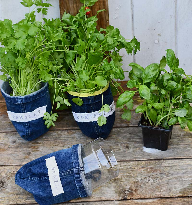 Potting herbs into denim planters