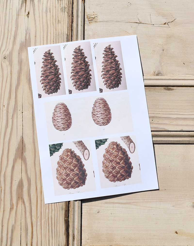 Vintage pine cone images.