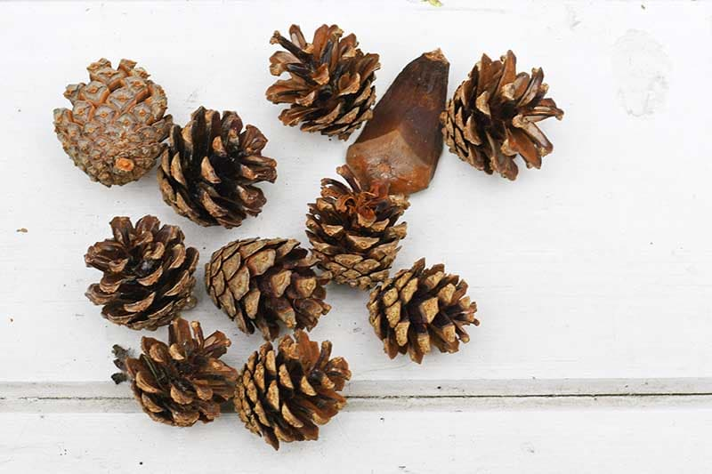 Mini pinecones for pinecone Christmas crafts