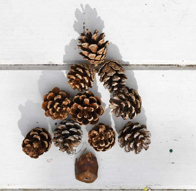 Pinecone christmas tree layout.