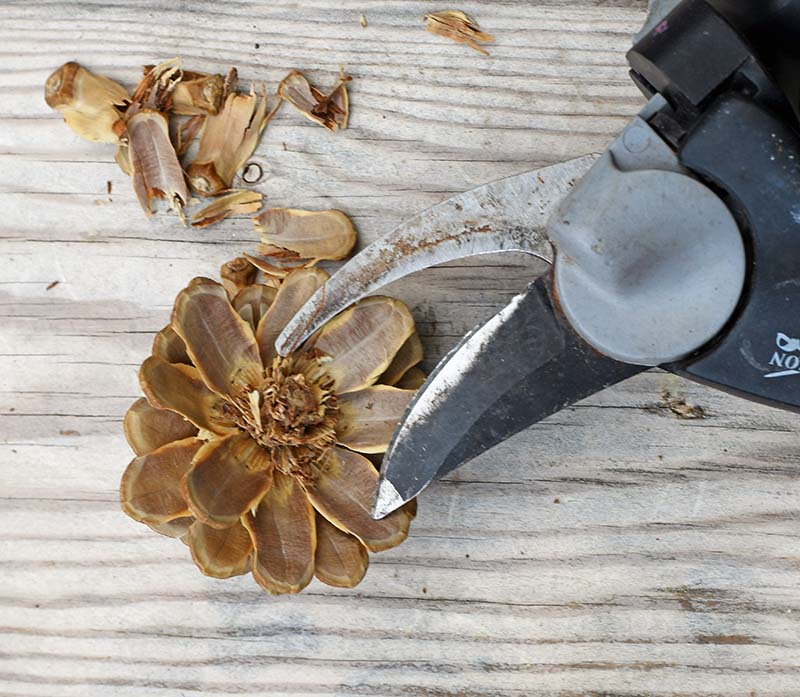 Cutting down the pinecones to paint into flowers