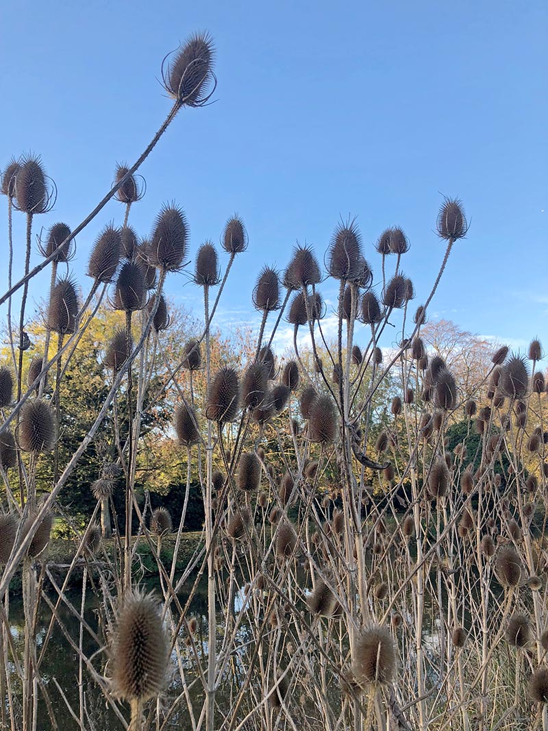 Thistles along the riverbank in Bedford