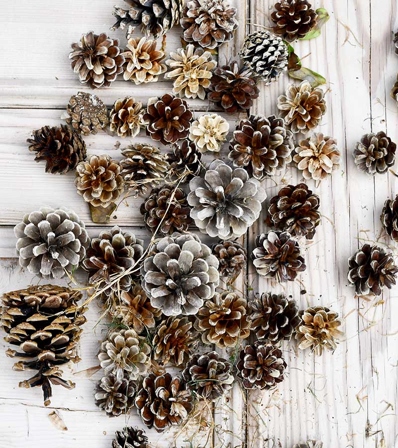 Assorted bleached pinecones