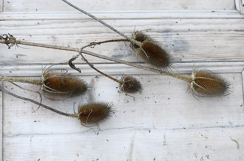 Dried thistle before decoration