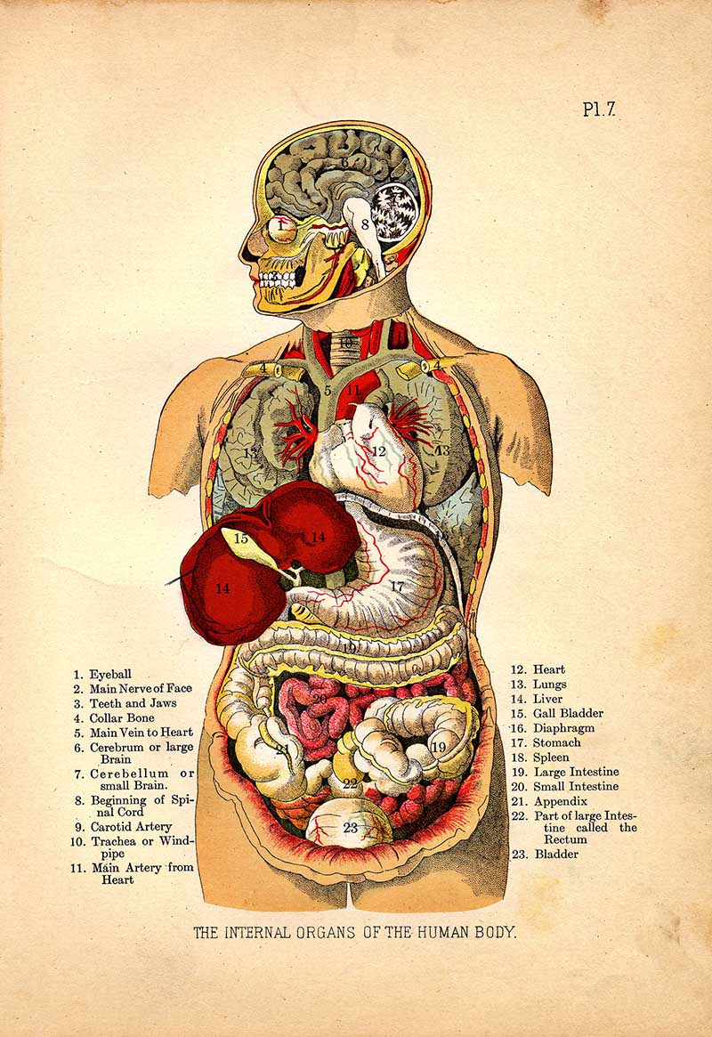Internal_Organs_of_the_Human_Body_from_The_Household_Physician,