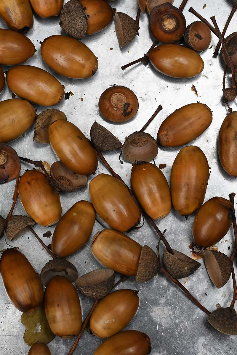 Baked acorns for painting