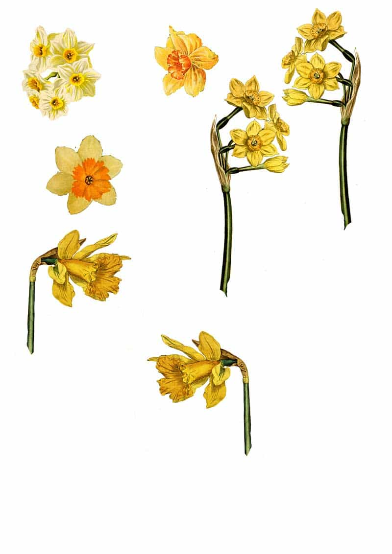 free daffodil clip art